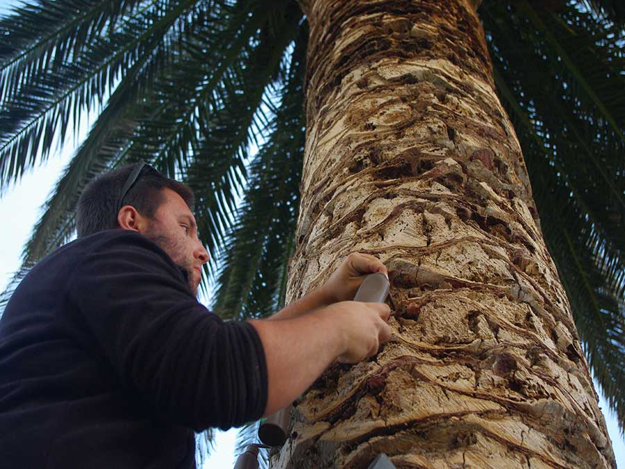 Picudo rojo en palmeras en Zaragoza