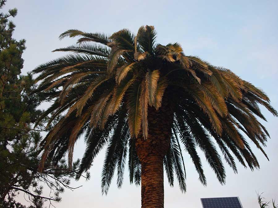 Picudo rojo en palmeras